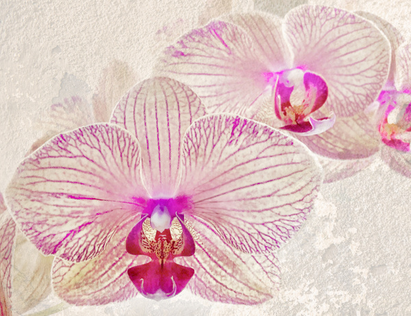 PurpleWhite Orchid w texture