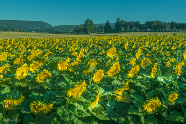 Sunflowers in in full bloom. Southern France