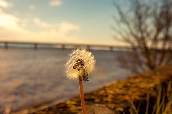 20200424-Dandelion (1)-2 - Walk around the Clacks Bridges - Heather Morrison Photography