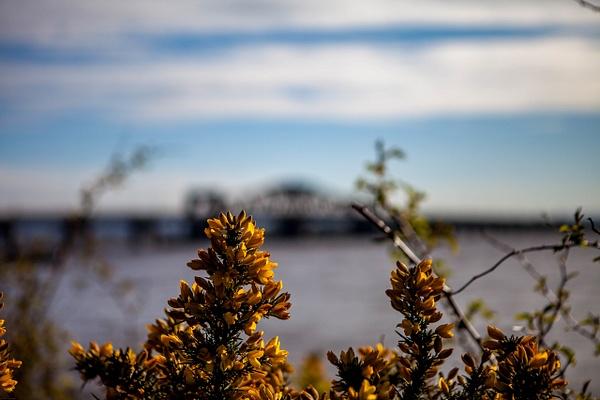 20200424-Gorse and bridge (1)-2 - Walk around the Clacks Bridges - Heather Morrison Photography