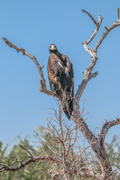 Australian Wedge Tailed Eagle by DavidParkerPhotography