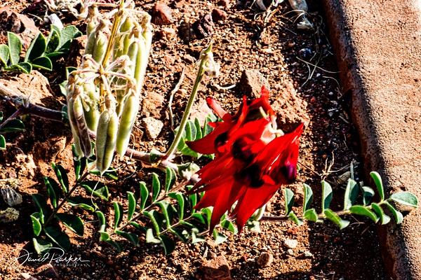 Sturt Desert Pea by DavidParkerPhotography