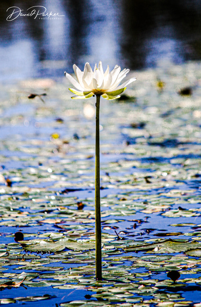 Water Lily by DavidParkerPhotography