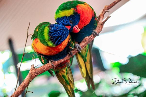 Rainbow Lorikeets by DavidParkerPhotography