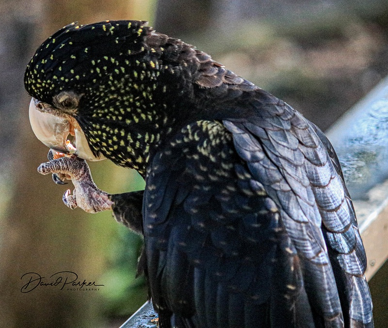 Yellow Speckled Black Cockatoo