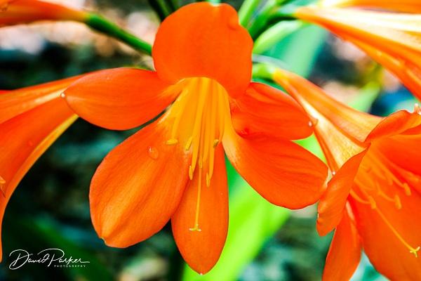 Apricot Clivia by DavidParkerPhotography