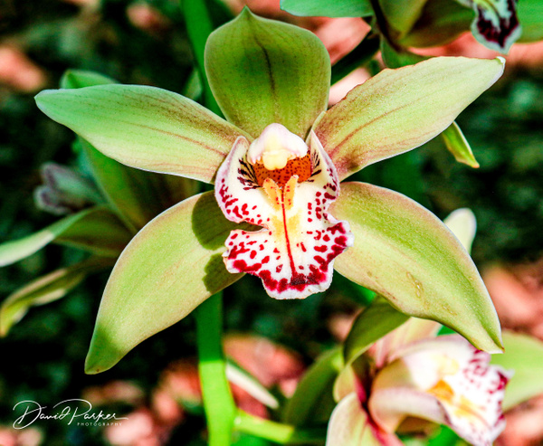 Orchid by DavidParkerPhotography