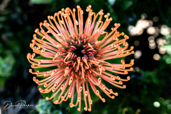 Silver Edged Pin Cushion Protea by DavidParkerPhotography