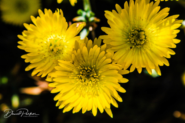 Aizoaceae by DavidParkerPhotography