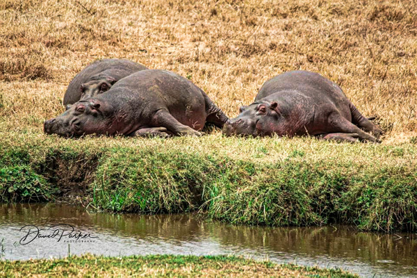 Hippos sunbaking by DavidParkerPhotography
