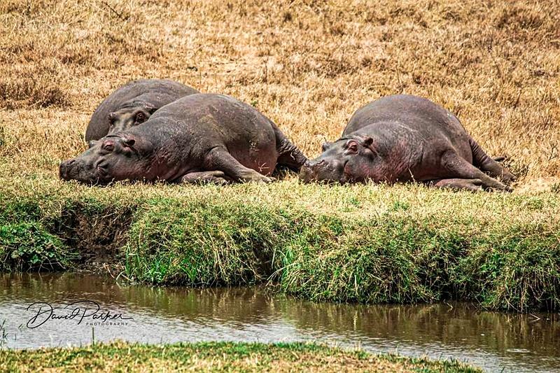Hippos sunbaking