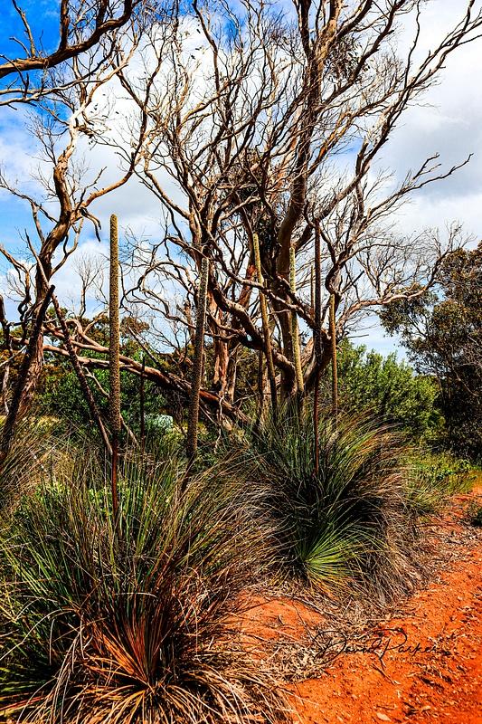 Blackboy Grass (Xanthorrhoea Australis) - Fleurieu Peninsula