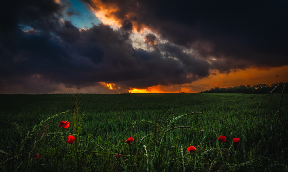 Sunset, red poppies. Beersel - Belgium