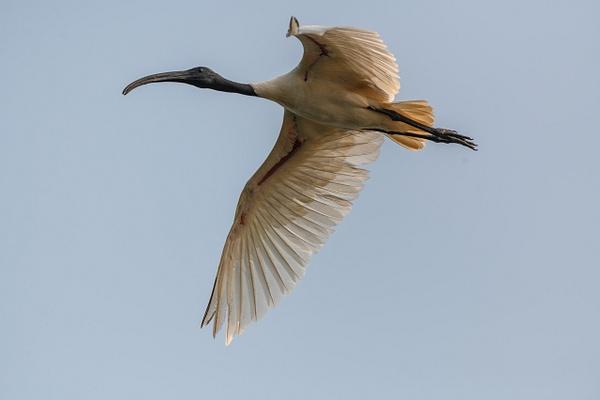 Red_naped_Ibis - Wildlife - ASN Images