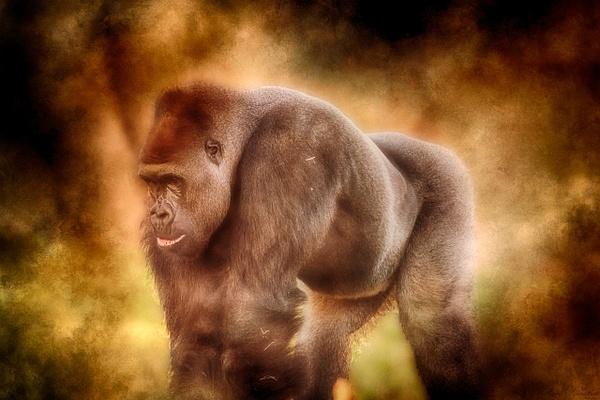 Gorilla - Wildlife - ASN Images
