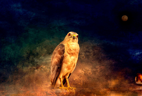 Falcon_on_a_Night - Wildlife - ASN Images