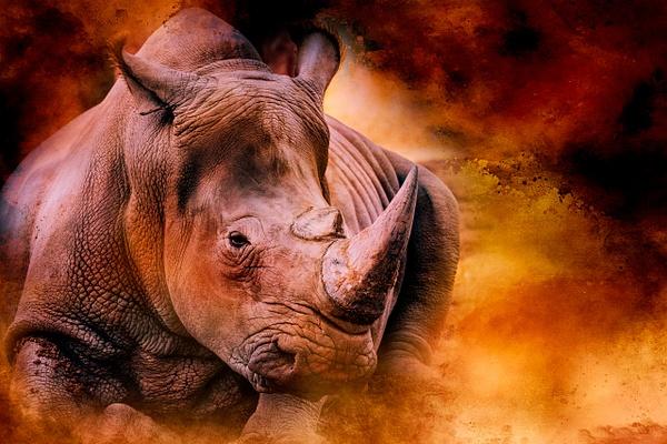 Rhino - Wildlife - ASN Images