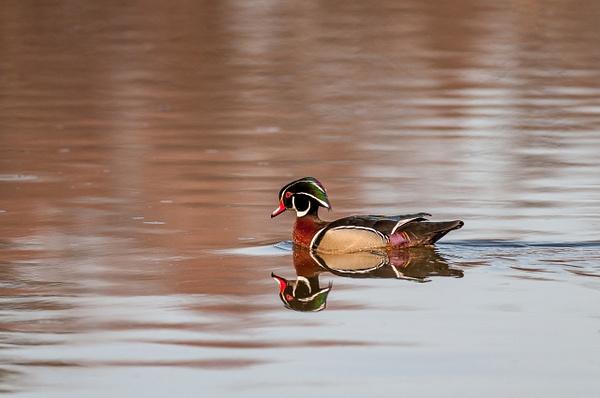 Mud Lake, Ottawa - Wildlife - Alain Gagnon Photography