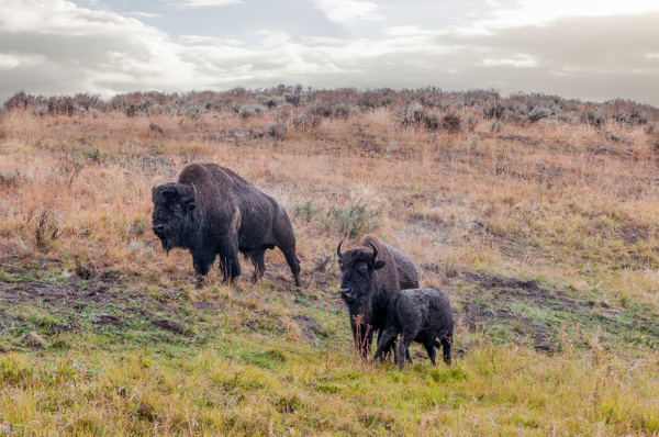 Bisons, Yellowstone, WY - Wildlife - Alain Gagnon Photography