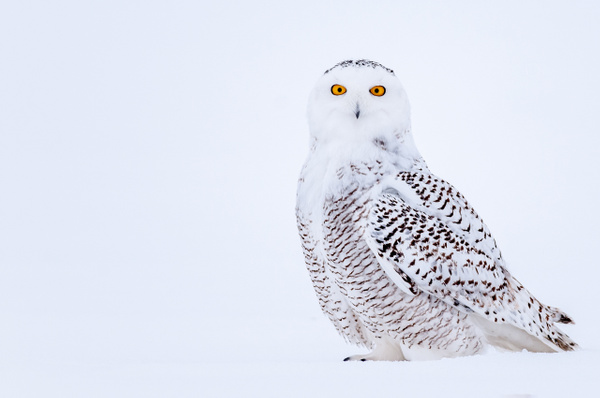 Snowy Owl - Wildlife - Alain Gagnon Photography