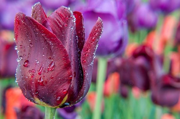 Tulip Festival, Ottawa - Landscape and Nature - Alain Gagnon Photography