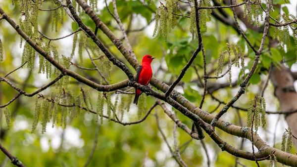 Scarlet Tanager, Ontario - Wildlife - Alain Gagnon Photography