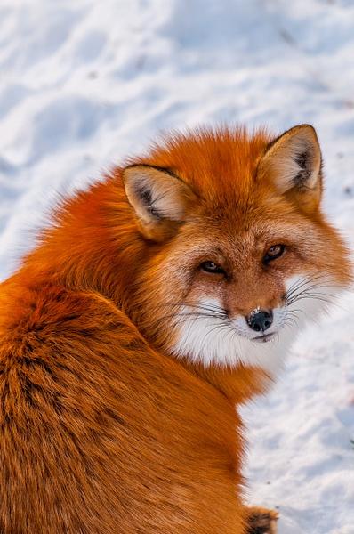 Fox - Ripon, QC - Wildlife - Alain Gagnon Photography
