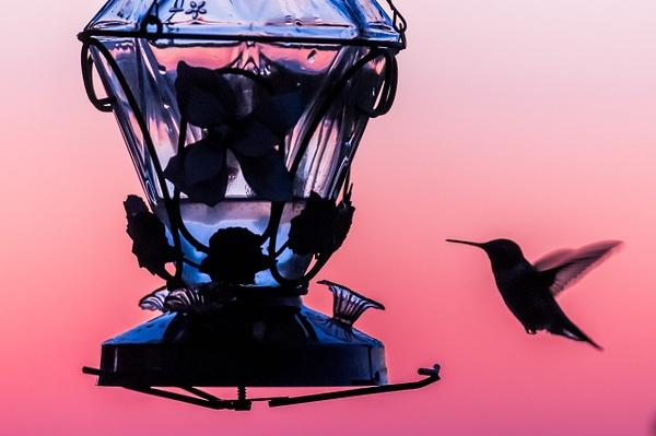 Hummingbird - Wildlife - Alain Gagnon Photography