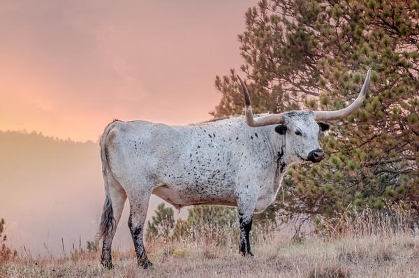 Longhorn, South Dakota - Wildlife - Alain Gagnon Photography