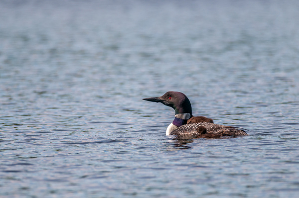 Loon, Bob's Lake - Wildlife - Alain Gagnon Photography