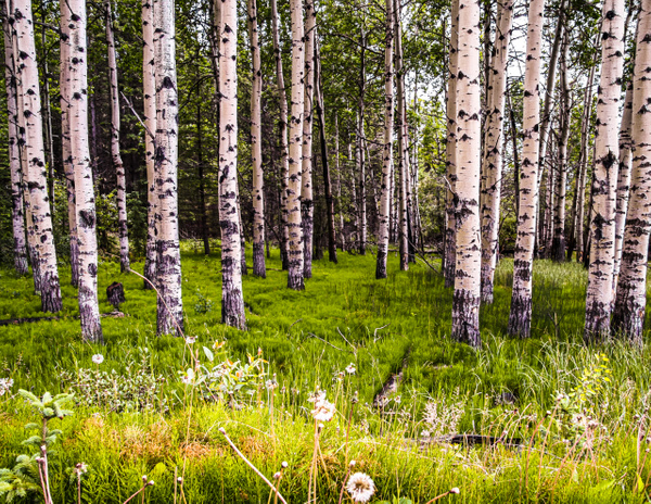 Poplars at Big Horn by BarbaraRothPhotography