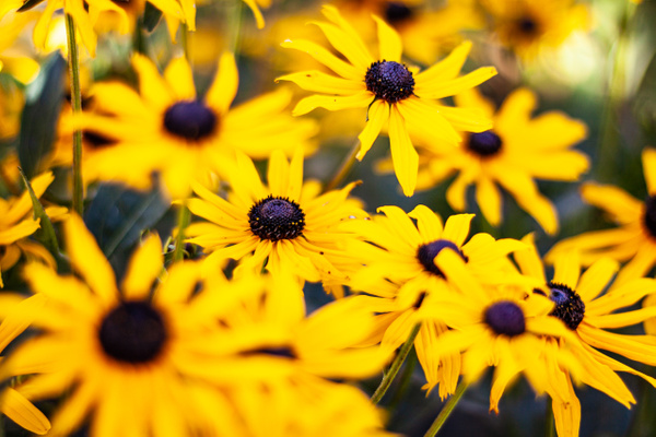 Black Eyed Susans by BarbaraRothPhotography