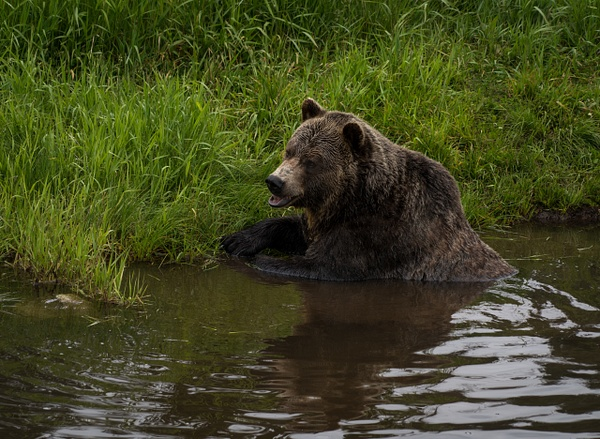 Grizzly in a Pond - Wildlife - McKinlay Photos