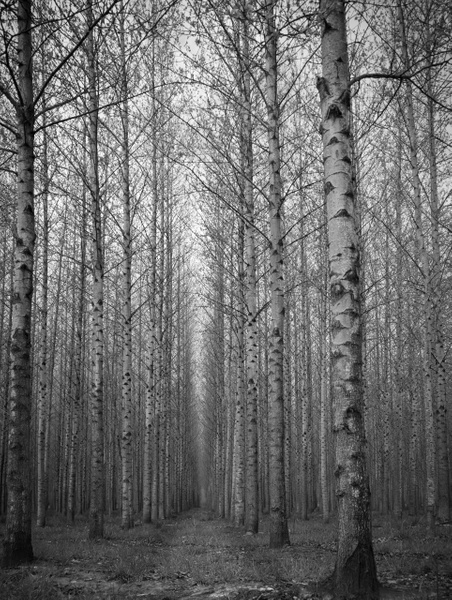 Birch Trees Vertical - Plants and Trees - McKinlay Photo