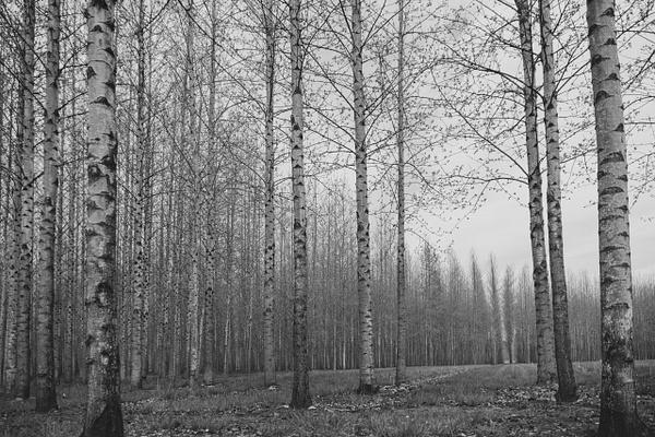 Birch Trees Horizontal - Plants and Trees - McKinlay Photo