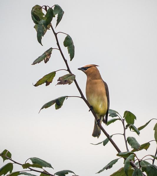 Cedar Wax-Wing - Wildlife - McKinlay Photos