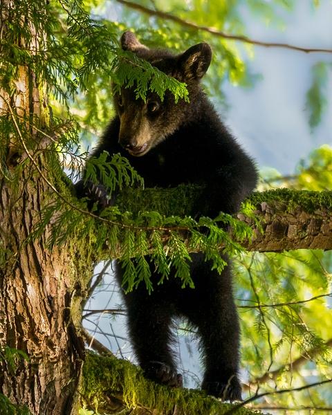 Baby Bear - Wildlife - McKinlay Photos