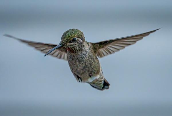 Hummingbird - Wildlife - McKinlay Photos