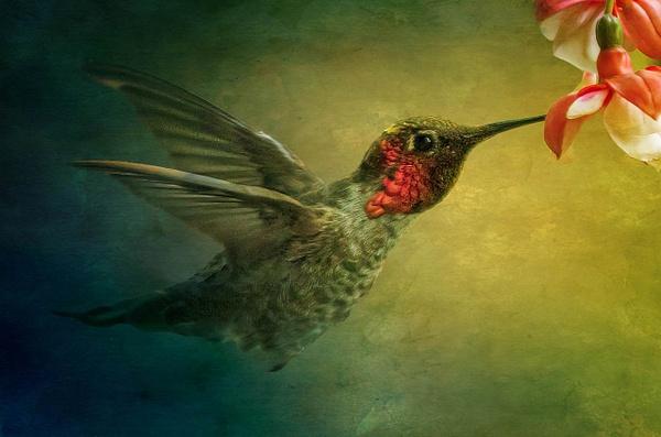 Hummingbird Feeding - Wildlife - McKinlay Photos