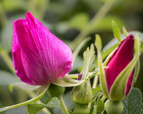 Wild Rose - Plants and Trees - McKinlay Photo