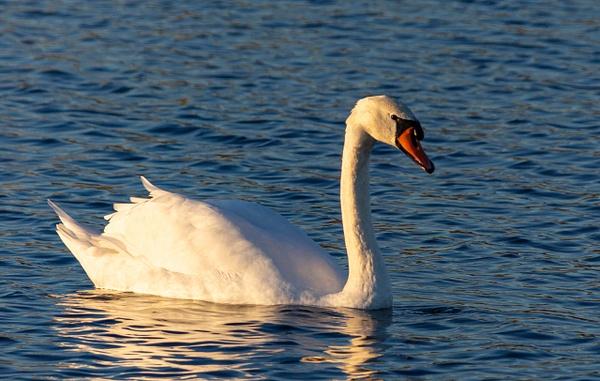 Swan-2 - Djur & Natur - XP Foto Service