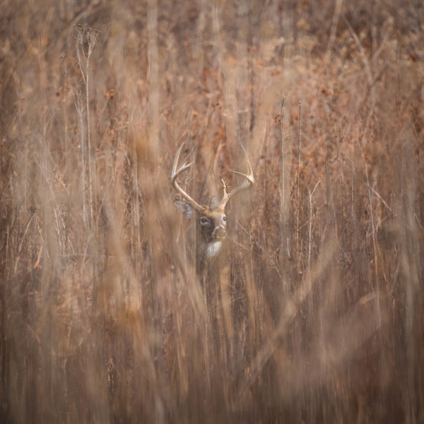 cades-cove-buck-in-hiding - WILDLIFE - Walnut Ridge Photography