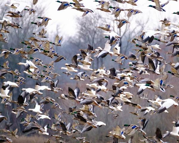 duck-barrage - AVIAN - Walnut Ridge Photography