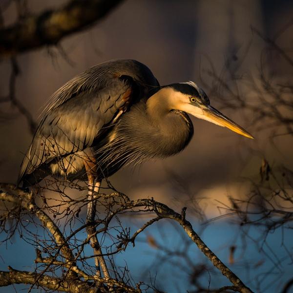 great-blue-heron - AVIAN - Walnut Ridge Photography