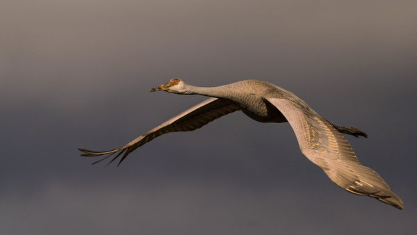 sandhill-crane-flyby - AVIAN - Walnut Ridge Photography