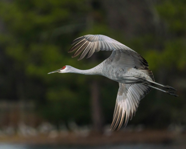sandhill-crane-flyby-2 - AVIAN - Walnut Ridge Photography