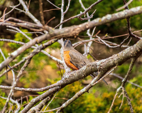 Robin in tree - Home - KDS Imagery Photography