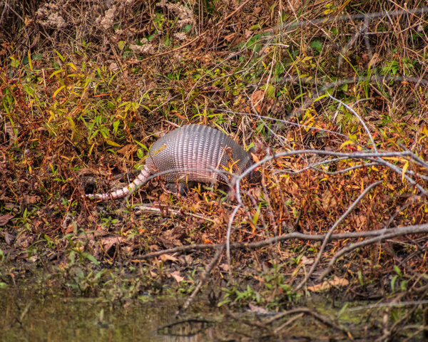 Armadillo in the Day_ - Home - KDS Imagery Photography