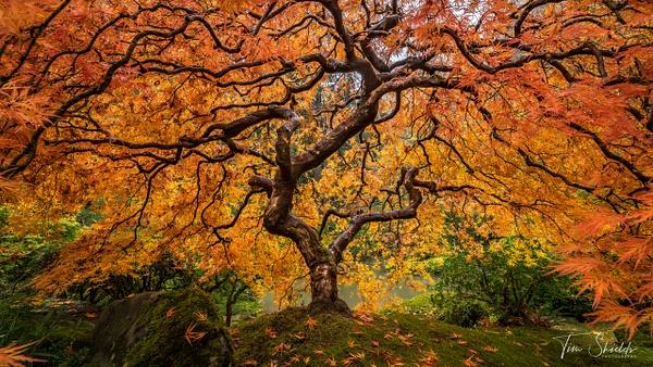 Japanese Maple HDR 4305 4K sRGB - Rockscapes - Tim Shields Landscape Photography