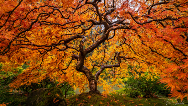 Japanese Maple - Rockscapes - Tim Shields Landscape Photography